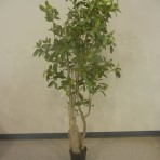 Tree, Mangrove