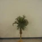 Tree, Palm 4′