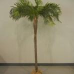 Tree, Palm 6′